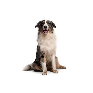 Pet City Pet Shops Australian Shepherd