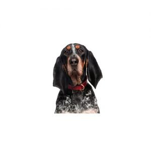 Pet City Pet Shops Bluetick Coonhound