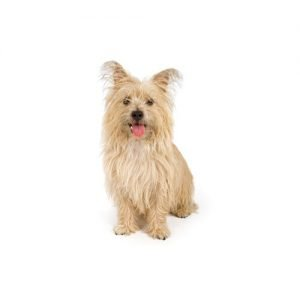 Pet City Pet Shops Cairn Terrier