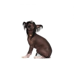 Pet City Pet Shops Chinese Crested