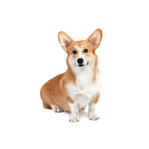 Pet City Pet Shops Pembroke Welsh Corgi