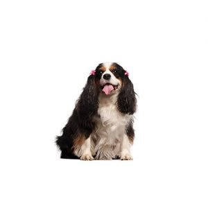 Pet City Pet Shops English Toy Spaniel