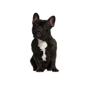 Pet City Pet Shops French Bulldog