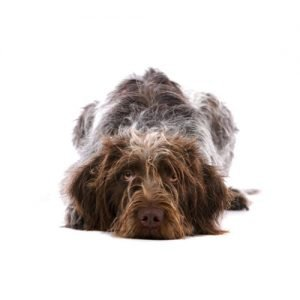 Pet City Pet Shops German Wirehaired Pointer