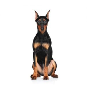 Pet City Pet Shops German Pinscher