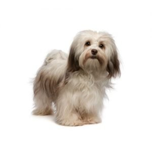 Pet City Pet Shops Havanese