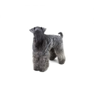 Pet City Pet Shops Kerry Blue Terrier