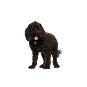 Pet City Pet Shops Labradoodle