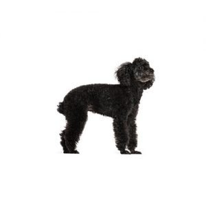 Pet City Pet Shops Miniature Poodle