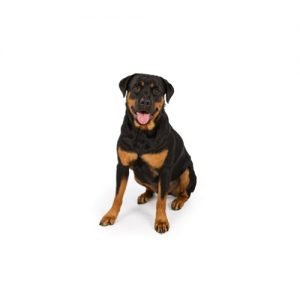Pet City Pet Shops Rottweiler