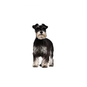 Pet City Pet Shops Standard Schnauzer