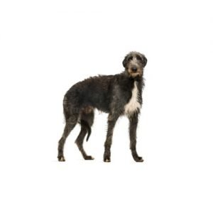 Pet City Pet Shops Scottish Deerhound