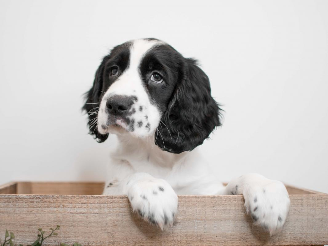 English Springer Spaniel Puppies - Pet City Pet Shops