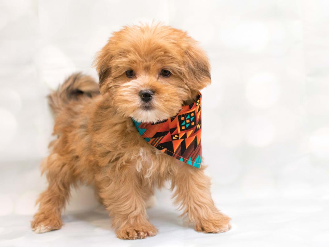 Yorkie Shih Tzu Pet City Pet Shops