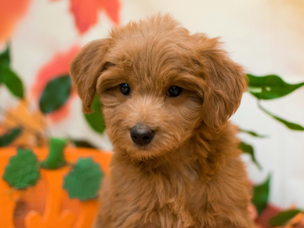 Visit Our Mini Goldendoodle Puppies for Sale near Fountain