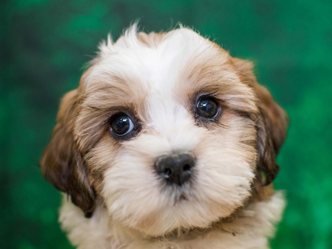 Bichonshih Tzu Pet City Pet Shops