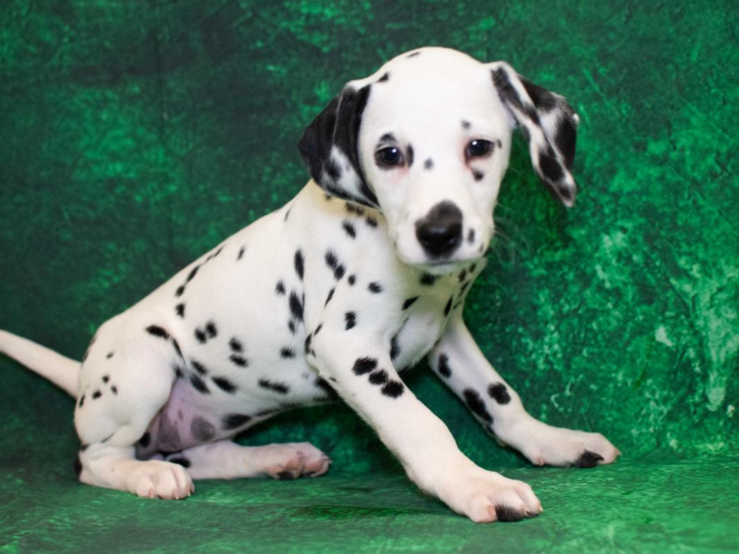Dalmatian Puppies Pet City Pet Shops
