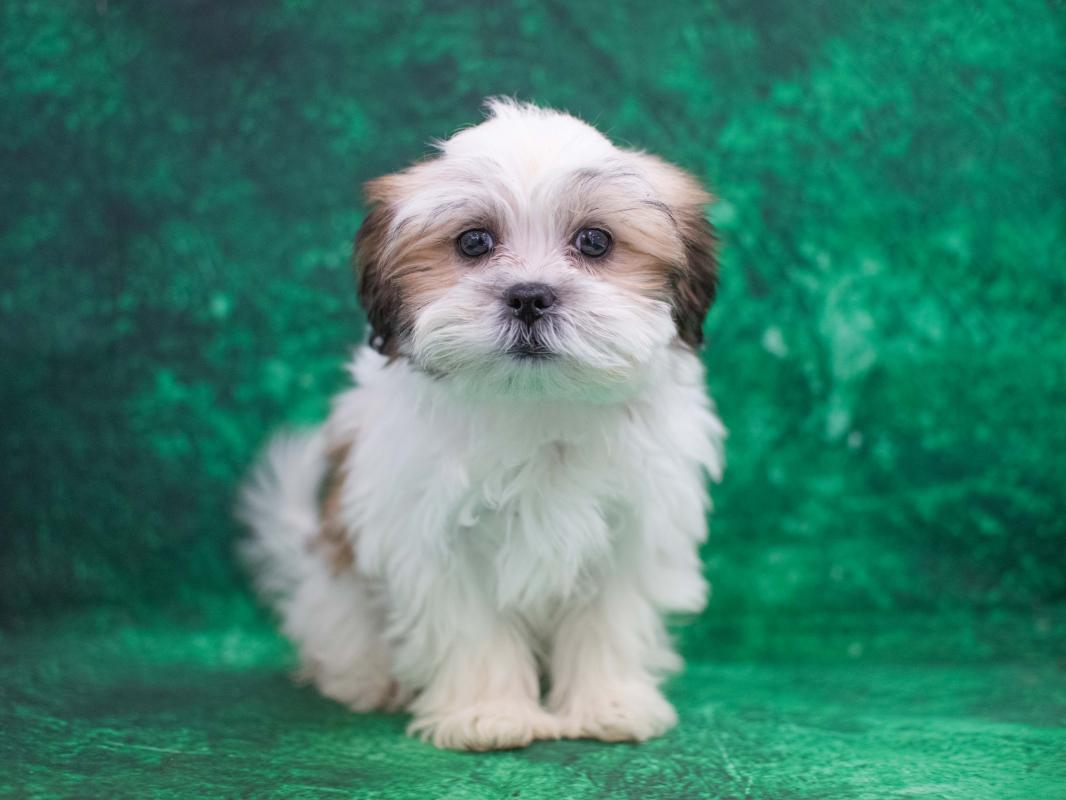 Malteseshih Tzu Pet City Pet Shops