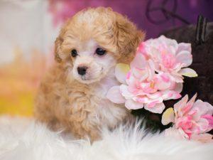Pet City Pet Shops Toy Poodle