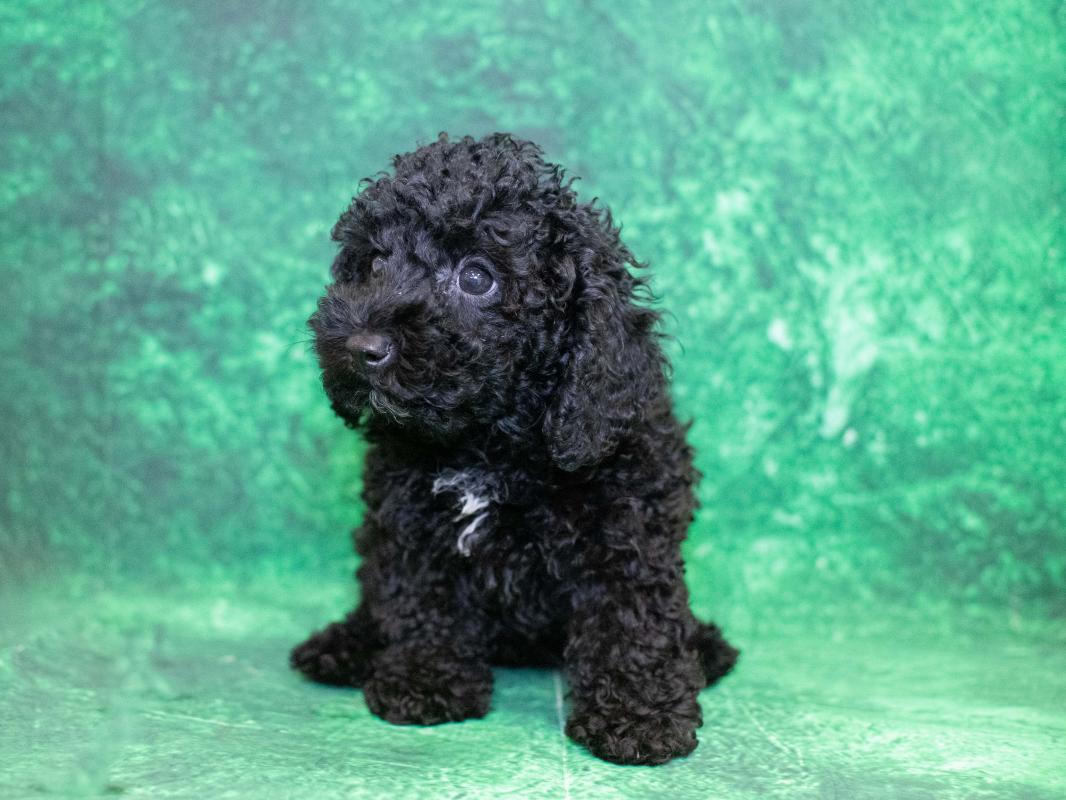 Miniature Poodle Puppies Pet City Pet Shops