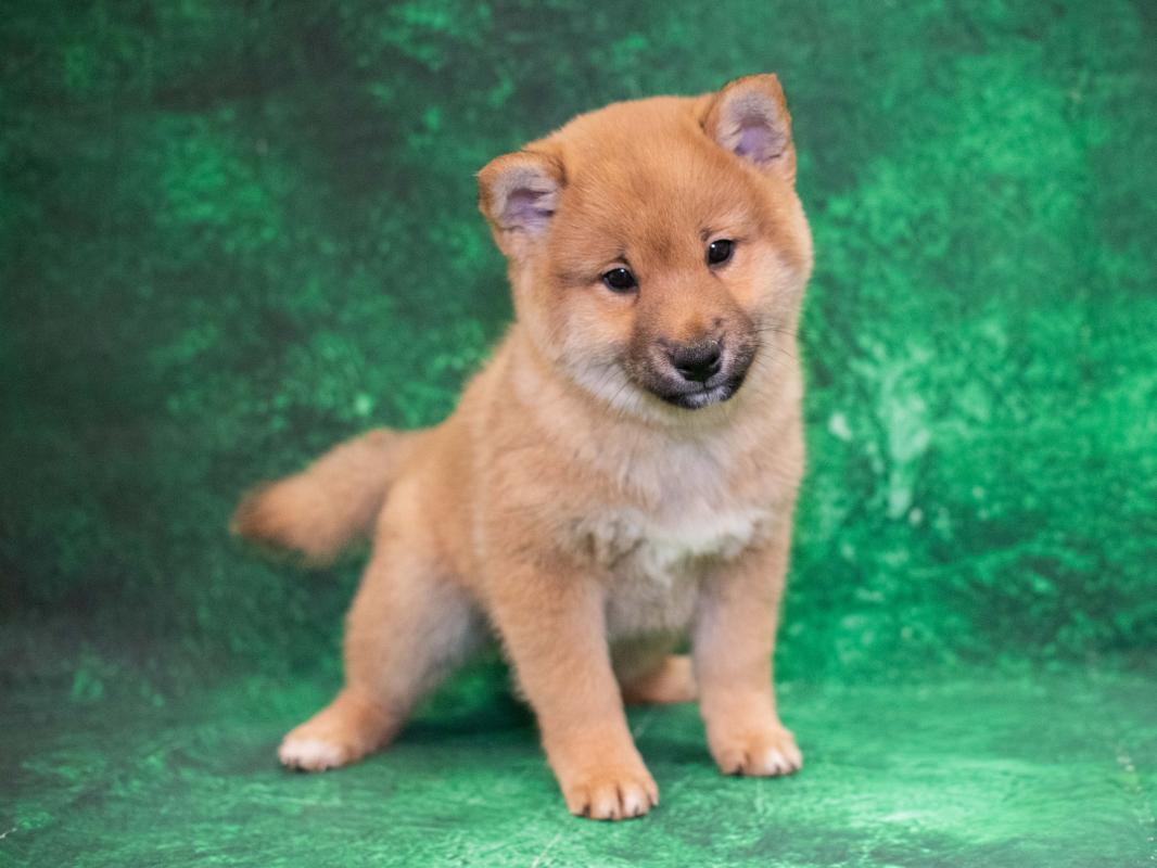 Shiba Inu Puppies Pet City Pet Shops