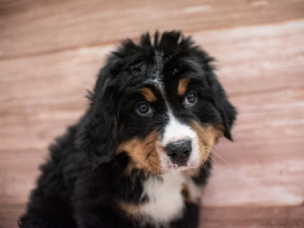Bernese Mountain Dog Pet City Pet Shops