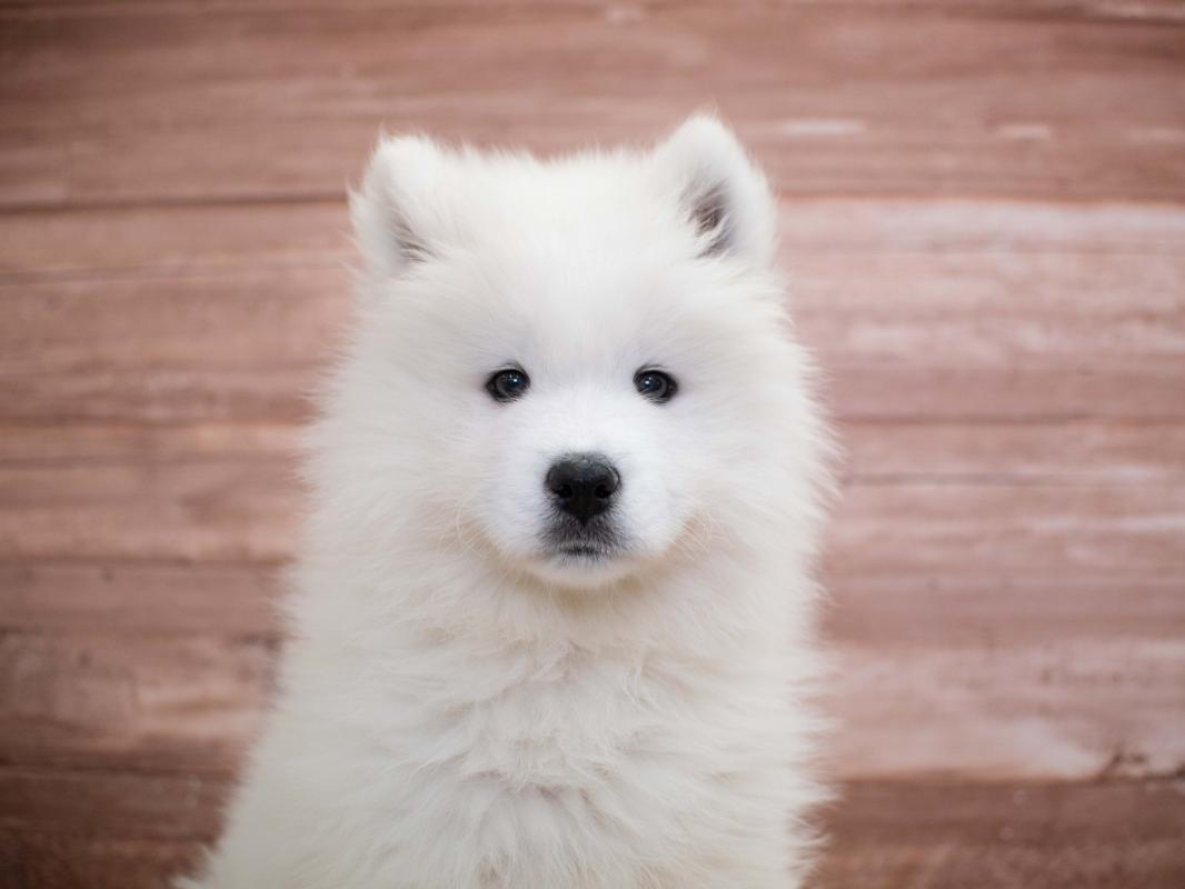 Samoyed Puppies Pet City Pet Shops