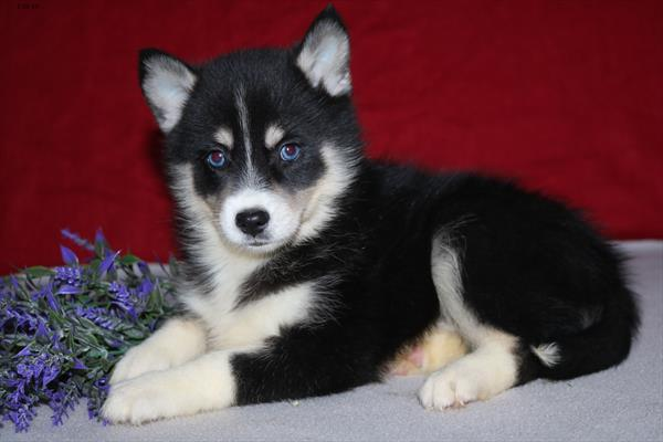 Pomsky Puppies Pet City S