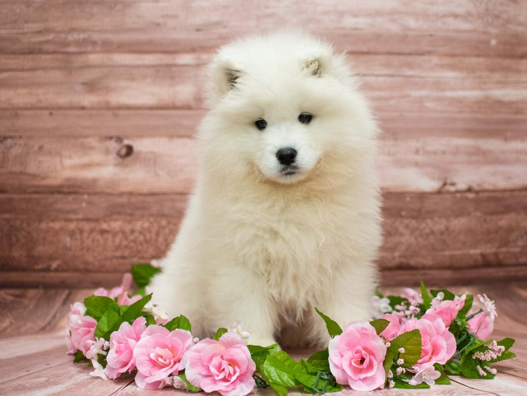 Samoyed Puppies - Pet City Pet Shops