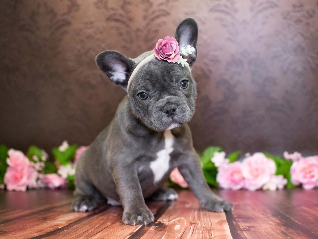 French Bulldog Puppies - Pet City Pet Shops
