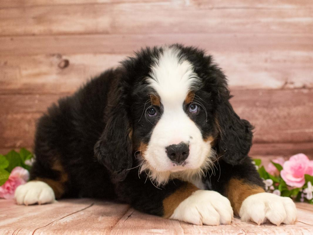 Bernese Mountain Dog | Pet City Pet Shops