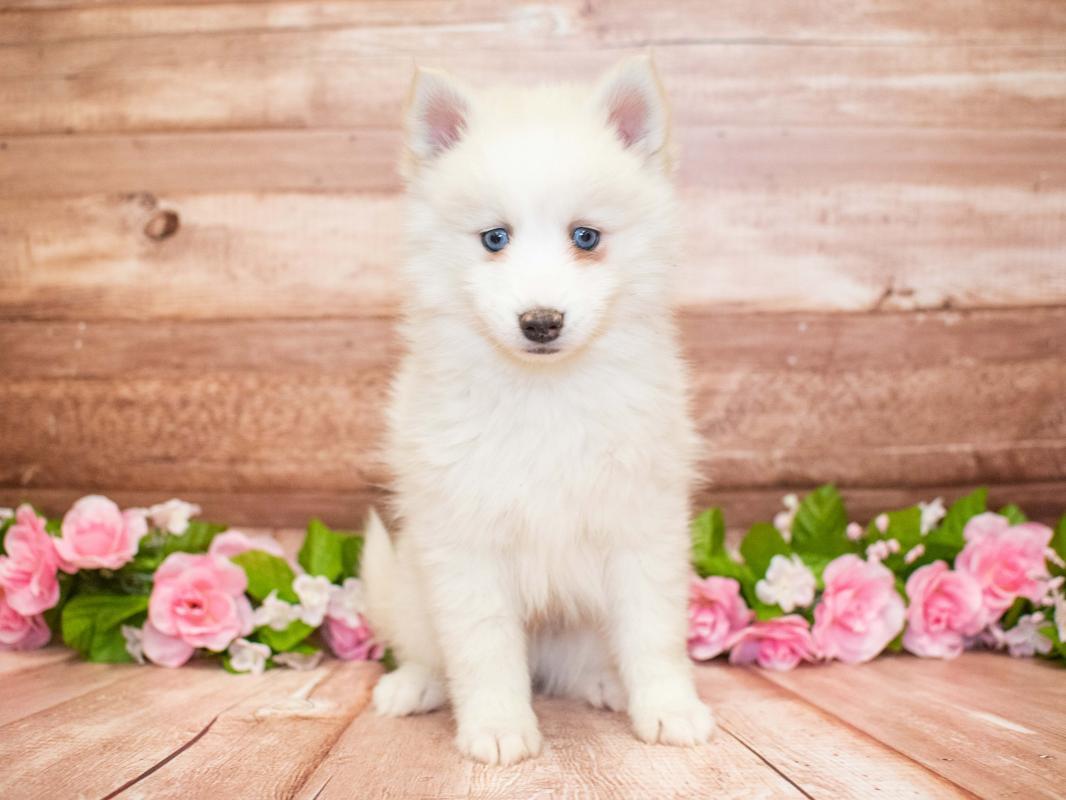 Pomsky Puppies - Pet City Pet Shops