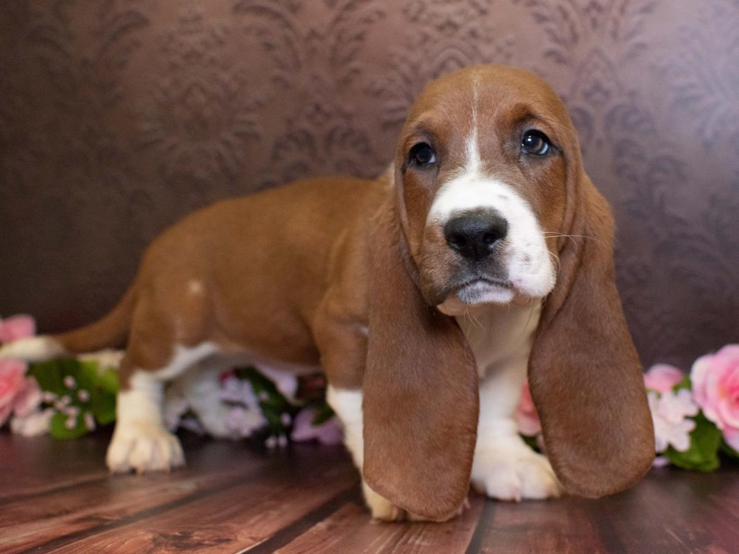 Basset Hound Puppies Pet City Pet Shops
