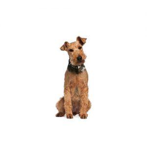 Pet City Pet Shops Airedale Terrier