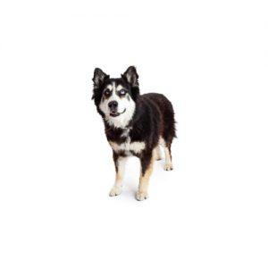Pet City Pet Shops Alaskan Malamute