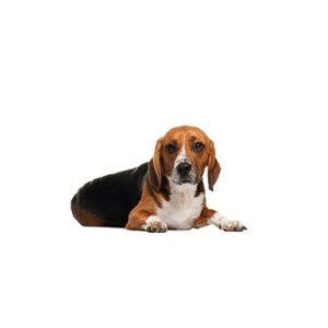 Pet City Pet Shops American Foxhound
