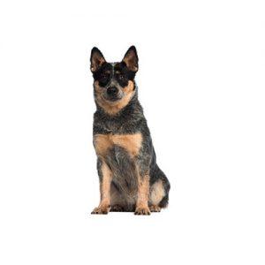 Pet City Pet Shops Australian Cattle Dog