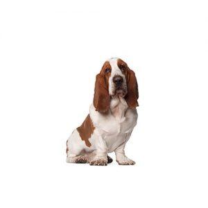 Pet City Pet Shops Basset Hound