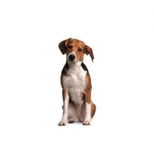 Pet City Pet Shops Beagle