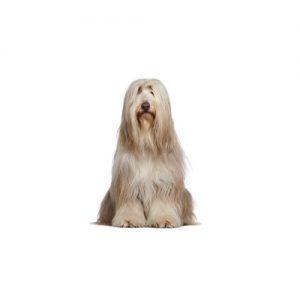 Pet City Pet Shops Bearded Collie