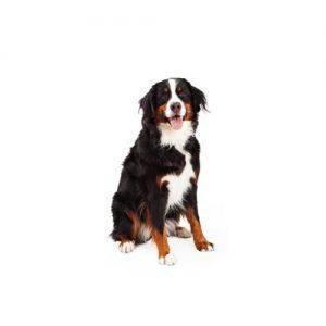 Pet City Pet Shops Bernese Mountain Dog