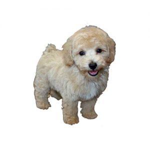Pet City Pet Shops Bichon Poo