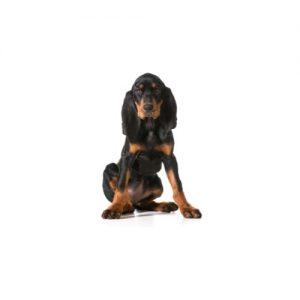 Pet City Pet Shops Black and Tan Coonhound