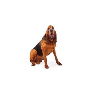 Pet City Pet Shops Bloodhound