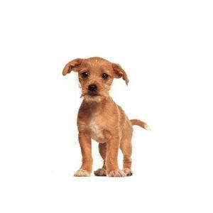 Pet City Pet Shops Border Terrier