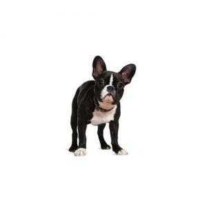 Pet City Pet Shops Boston Terrier
