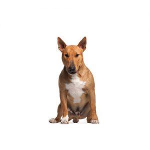 Pet City Pet Shops Bull Terrier