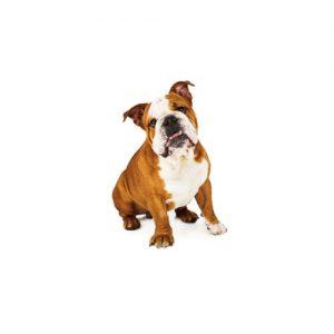 Pet City Pet Shops English Bulldog