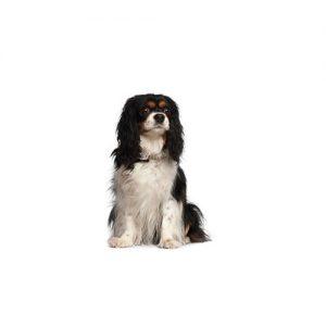 Pet City Pet Shops Cavalier King Charles Spaniel