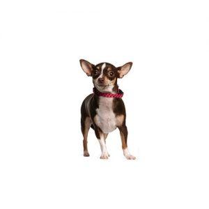 Pet City Pet Shops Chihuahua